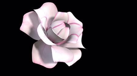 3d Animation of White Rose Grows and Blooms. Time-lapse. Isolated on Black Background. Wideo