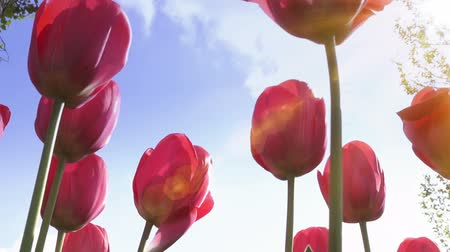 Red tulips with the sun and blue sky in background. Progressive scan, seamlessly loop-able.