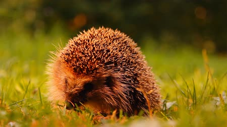 prickly : hedgehog on a green grass, hands of the person Stock Footage