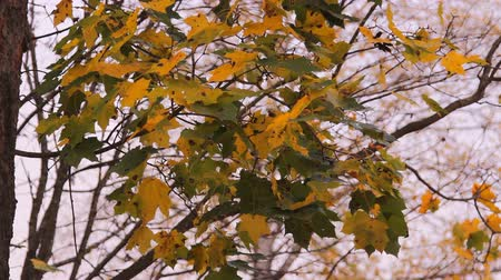 red maple : autumn, yellow-green leaves of the maple tree Stock Footage