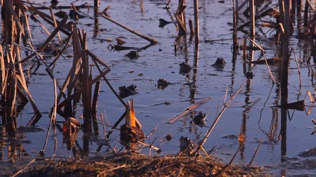hurl : many frogs are sitting in the water in the reservoir, the mating period, spawn