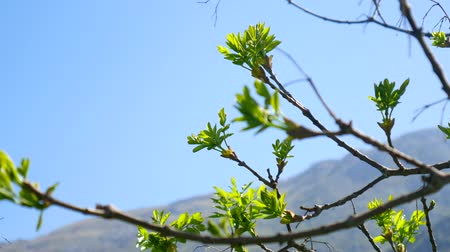 Kidneys blossom on trees against the blue sky. Flowers and trees in Montenegro. Vídeos
