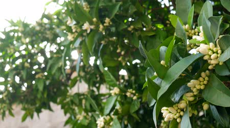 tangerina : Blooming tree Tangerine. Montenegrin mandarin trees. Home tangerine garden. Many flowers on the tree. Vídeos