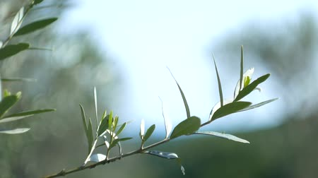 Olive branch with leaves close-up. Olive groves and gardens in Montenegro. Vídeos