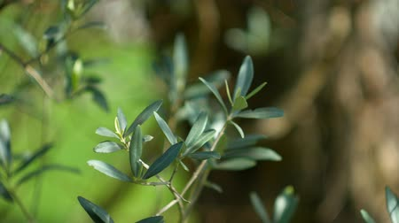 selektif : Olive branch with leaves close-up. Olive groves and gardens in Montenegro. Stok Video