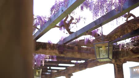 lanterns : Vintage Lantern in blooming wisteria in Montenegro. Stock Footage
