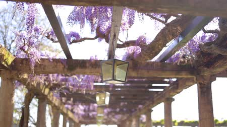 provence : Vintage Lantern in blooming wisteria in Montenegro. Stock Footage