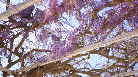 лоза : Flowering tree wisteria in Montenegro, the Adriatic and the Balkans.