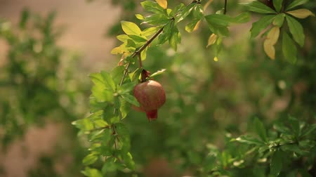 roma : Red ripe pomegranate on the tree. Pomegranate trees in Montenegro.
