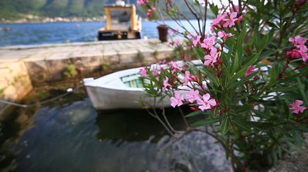 Сицилия : Flowering oleander trees in Montenegro, the Adriatic Sea and the Balkans.