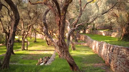 agrarian : Olive groves and gardens in Montenegro.