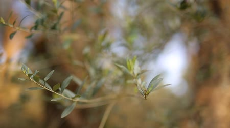 olivy : Olive branch with leaves close-up. Olive groves and gardens in Montenegro. Dostupné videozáznamy