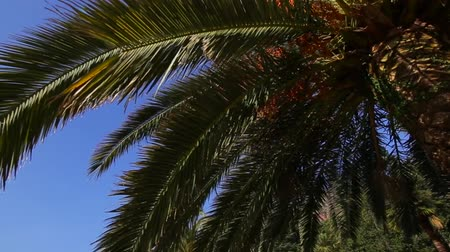феникс : Date palm in Montenegro. Fruit on the palm tree.