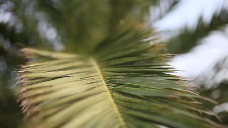 kokosový ořech : A branch of a palm tree close-up. Date tree in Montenegro.