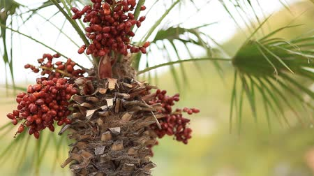 vaha : Date palm in Montenegro. Fruit on the palm tree.