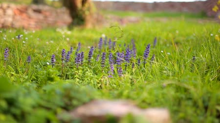 swamp : Violet flowers of Lysimachia in green grass. Flora of Montenegro. Stock Footage