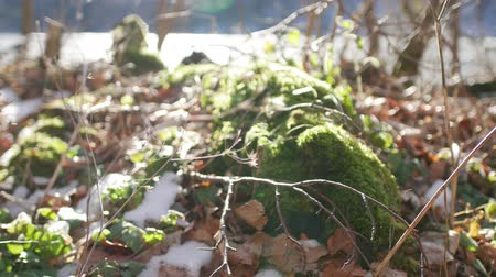 tree stump : Moss on a stump in the forest under the snow.