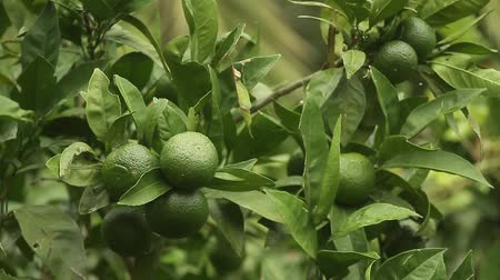 mandarynka : Green mandarins on a tree. Unripe tangerine. Montenegrin mandarin trees. Home tangerine garden. A lot of fruit on the tree. Not yet ripe. Wideo