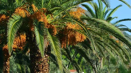 anka kuşu : Date palm in Montenegro. Fruit on the palm tree.