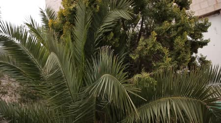 subtropical : Palm tree. Date tree in Montenegro