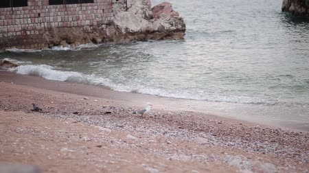 baltské moře : Seagull on a pebble beach. He walks along the beach in Montenegro, Budva