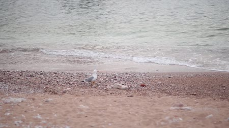 balti tenger : Seagull on a pebble beach. He walks along the beach in Montenegro, Budva