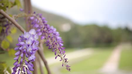 green peas : Flowering tree wisteria in Montenegro, the Adriatic and the Balkans.