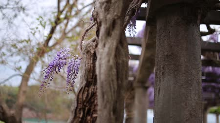 покрытосеменных : Flowering tree wisteria in Montenegro, the Adriatic and the Balkans.