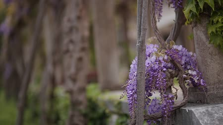 peas : Flowering tree wisteria in Montenegro, the Adriatic and the Balkans.