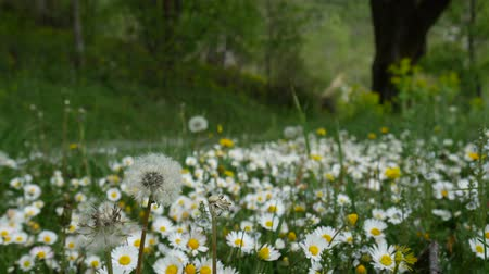camomila : Blooming flowers daisies on green grass.
