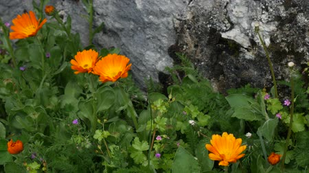 calendula officinalis : Flowers Calendula officinalis on the flowerbed near the house. Flora of Montenegro.