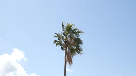 esverdeado : Palm tree top (closeup) on sea coast background (Montenegro, Budva)