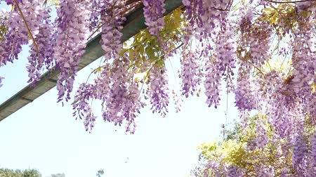 angiospermas : Flowering tree wisteria in Montenegro, the Adriatic and the Balkans.