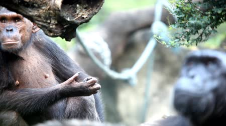 simio : Chimpancé mirando Archivo de Video