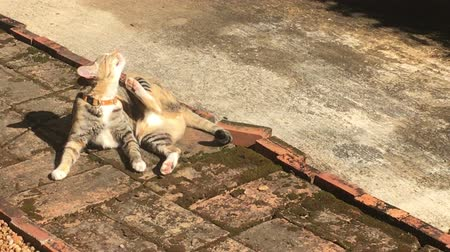 hijenik olmayan : Cat chilled out in summer sun light, stock footage