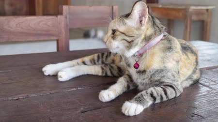 adormecido : Friendly cute cat on the table, stock footage Vídeos