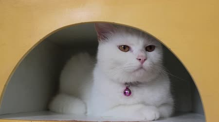 sziámi : Cute white cat happy in the hole, stock footage