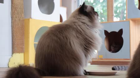 tartózkodás : Himalayan cat need some more snack, stock footage