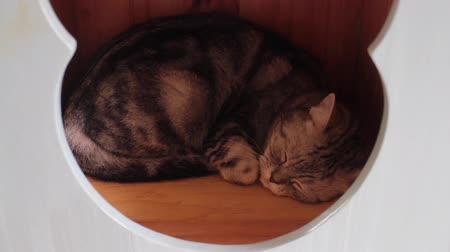 siamese : Lovely cat sleeping in house toy, stock footage Stock Footage