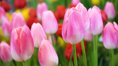 tulipan : Close up beautiful pink tulip flowers, Fresh nature flowers and wind blowing.