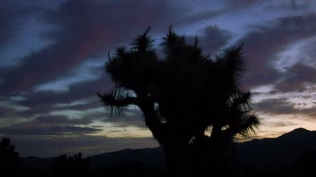 low lighting : Joshua Tree Sunrise Pan - Sunrise behind Joshua Tree silhouette.