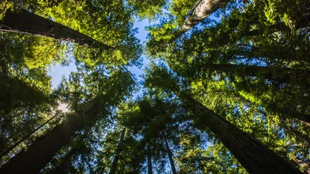 low lighting : Northern California Redwoods - A wide angle motion control real time shot looking up at giant California red wood trees.