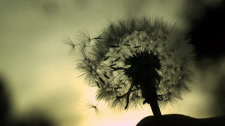 low lighting : Dandelion Silhouette - High speed fine detail shot of dandelion silhouette.