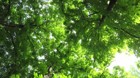 Summer Deciduous Forest Rotates. View from Below.