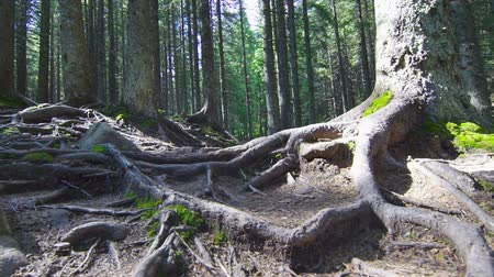 raiz : Tree Roots in a Magic Pine Forest on the Hillside Vídeos