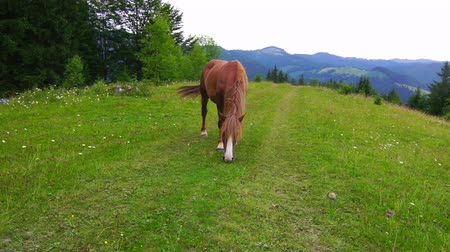 otlama : Horse Grazing in a Meadow in the Mountains. Up Close View.