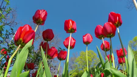 tulipany : Red Tulips in the Spring Garden Swaying in the Wind. Bottom View.