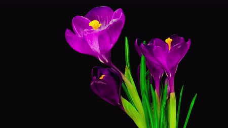 flor cabeça : Timelapse of Violet Crocus Flower Blooming on Black Background