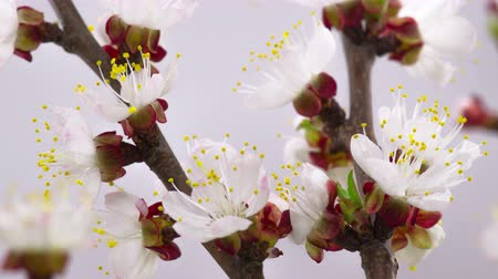 cereja : White Flowers Blossoms on the Branches Cherry Tree. Timelapse. 4K. Stock Footage