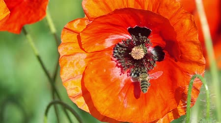 pszczoła : Bee Flying and Pollinating Poppy Flower at Sunny Day. Slow Motion. Wideo